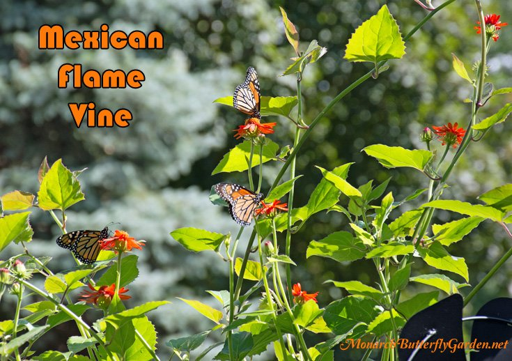Mexican flame vine is a perennial for warm regions and a fast growing annual for northern gardeners. It's a favorite climbing vine for monarchs and also attracts swallowtails, hummingbirds, and beneficial bees.
