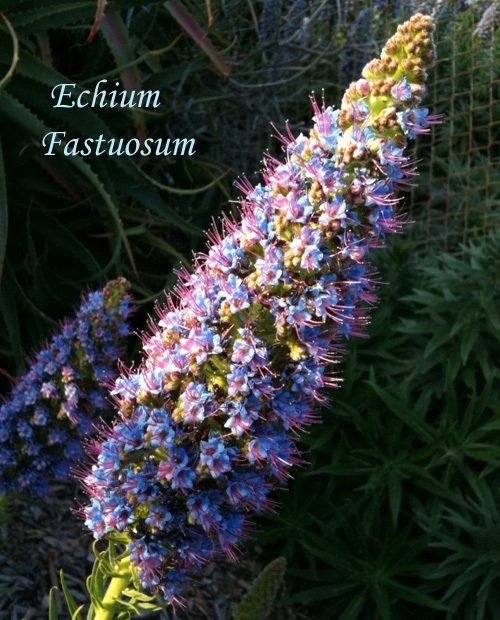 Echium fastuosum Pride of Madeira is a popular butterfly plant with west coast monarchs