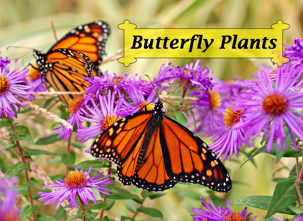 Butterfly Plants for creating a bountiful garden filled with butterflies, hummingbirds, moths, bees, and other beneficial pollinators. What butterfly flowers could you add to your garden this season?