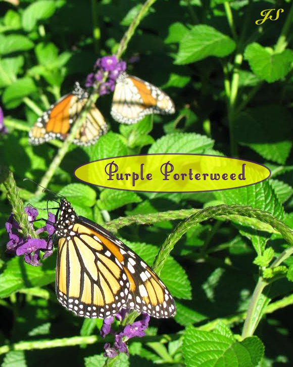 Purple Porterweed Is A Must Plant Nectar Flower For Your Butterfly Plants  List. Make