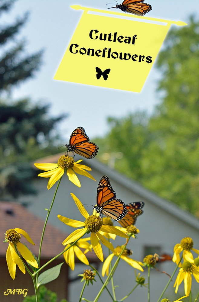 Best Butterfly Plants for Gardens- The Cutleaf Coneflower (Rudbeckia laciniata) is a giant coneflower variety that's a favorite nectar source for bumble bees and migrating monarch butterflies.