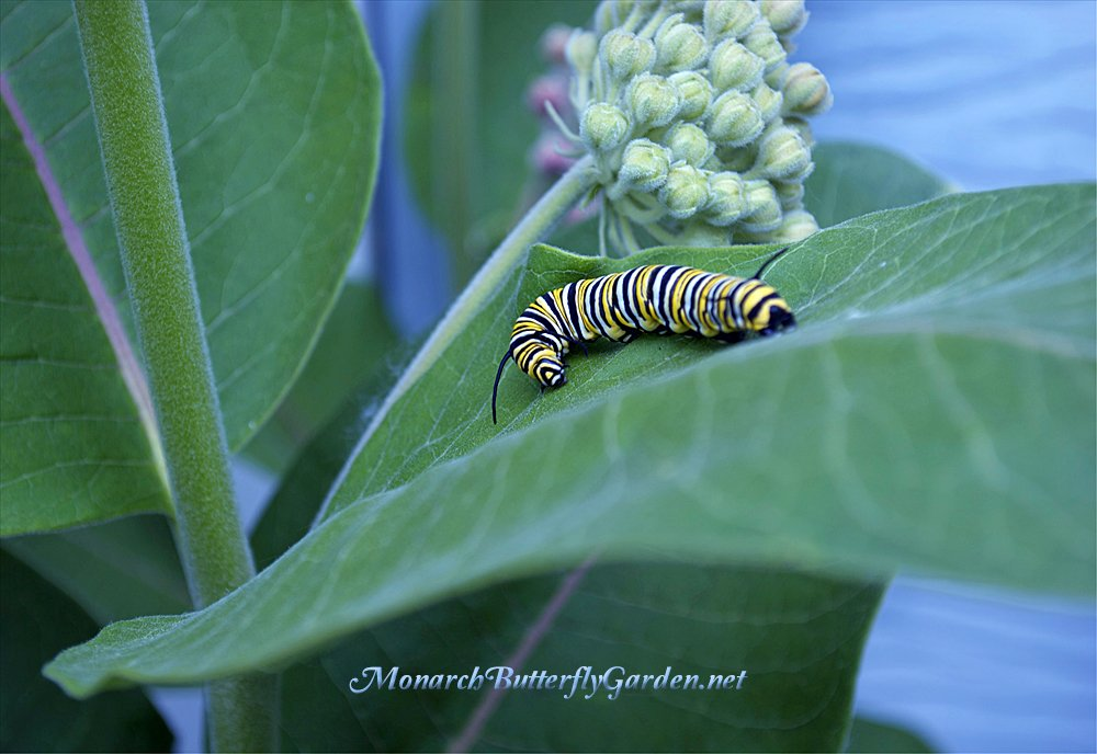 Milkweed Is The Lifeblood Of Monarch Caterpillars, And Without These  Precious Butterfly Plants, Monarch