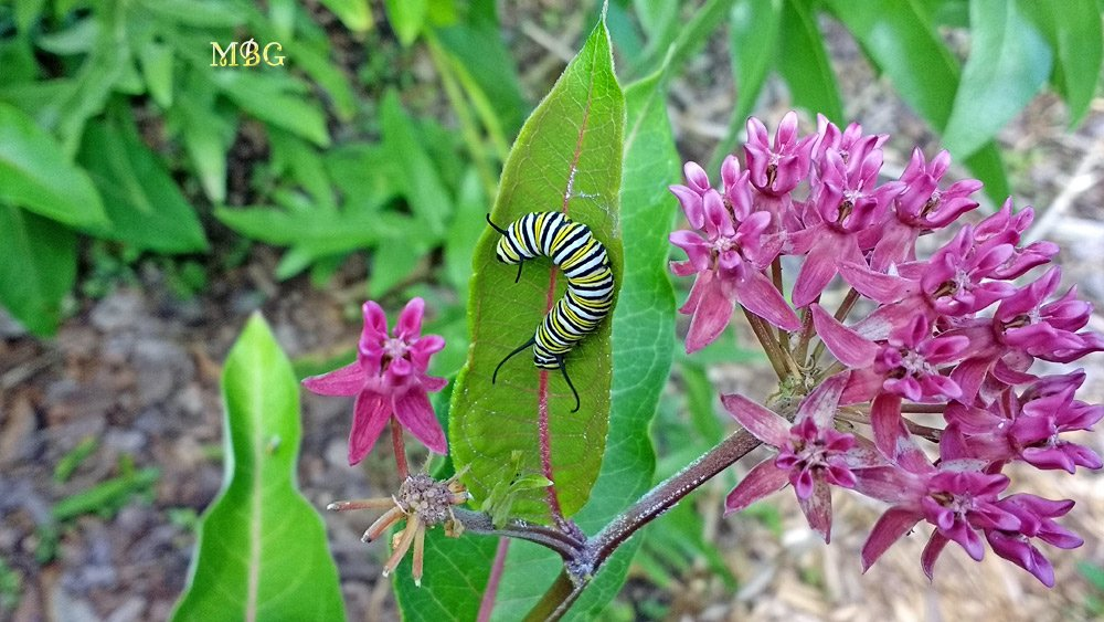 Asclepias purpurascens (purple milkweed) is a preferred spring host plant for monarch butterflies to drop off their caterpillar kids. Their favorite egg laying spot on these plants is often the flower buds. Get more info, photos, and find purple milkweed seeds...