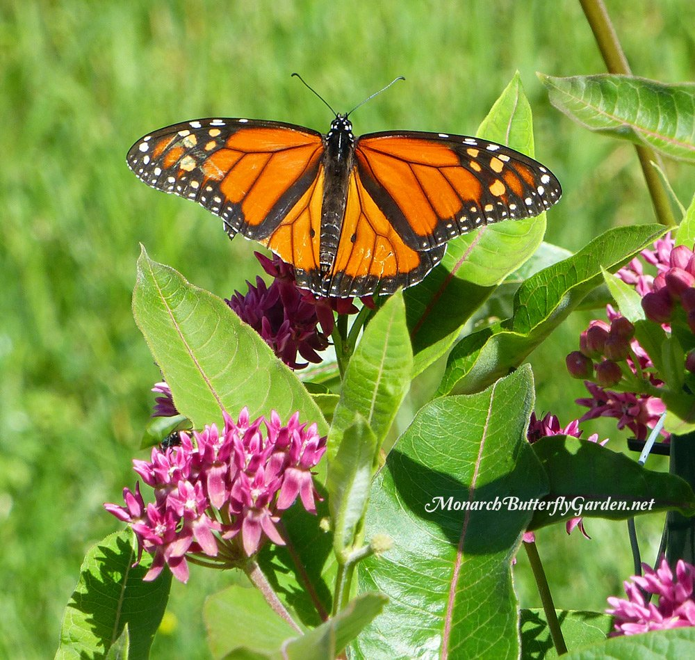 Asclepias purpurascens is a favorite nectar source for beneficial bees and spring butterflies including monarchs and swallowtails...but is it a good fit for your garden?
