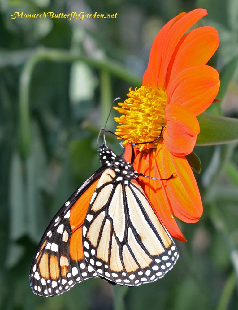 A Healthy Monarch Male stocks up on Nectar for the Monarch Migration
