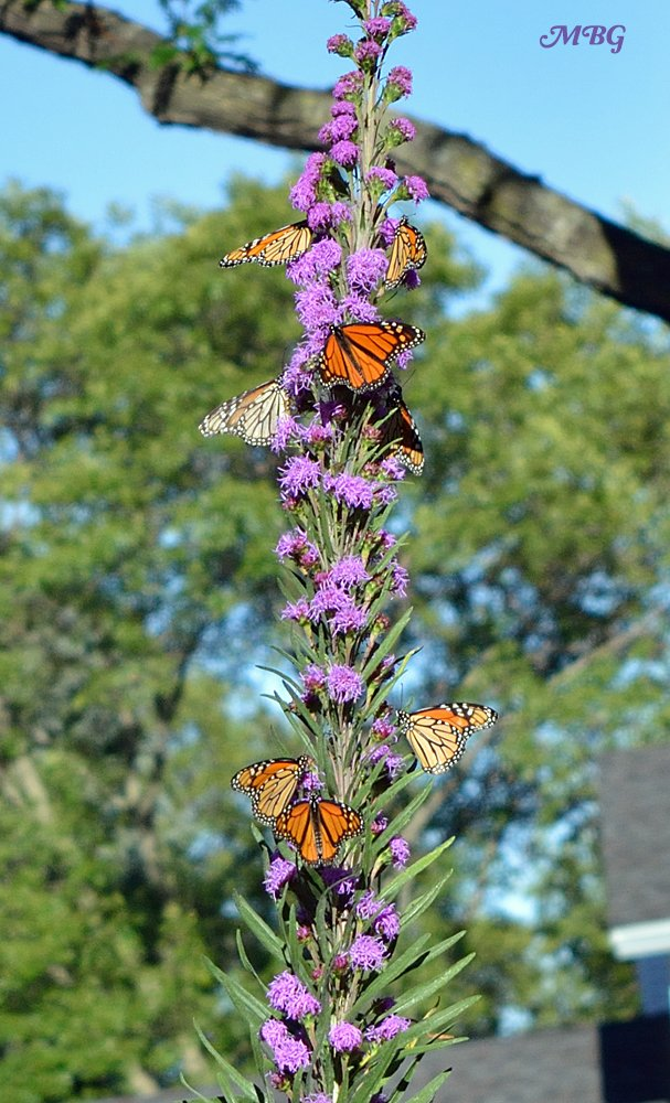 Charmant Butterflies Swarm Liatris Ligulistylis During The Monarch Migration  Best Butterfly  Plants