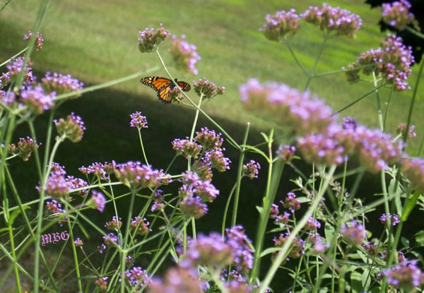 monarch butterfly on purple top vervain spike