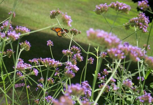 monarch butterfly on purple top vervain spike