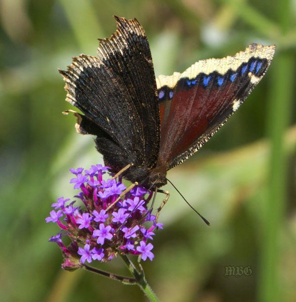13 Tips for Better Butterfly Pictures Tip no. 7-Take butterfly pictures from ground level to create interesting angles for your butterfly photography photos.