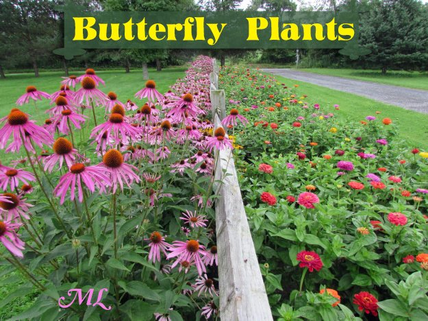 Attract more butterflies to your garden with a thoughtful mix of native plants and continuous-blooming annuals- Butterfly Plants List