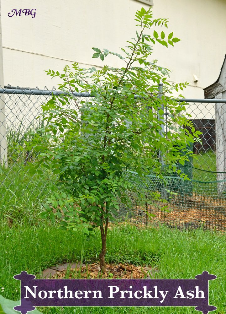 The Northern Prickly Ash (Zanthoxylum americanum) is a Host Butterfly Plant for Giant Swallowtail Butterfly Caterpillars. This bush-like host tree is a good option for those growing with less space, since it grows to only about 20 feet high. Keep it smaller by cutting back branches.