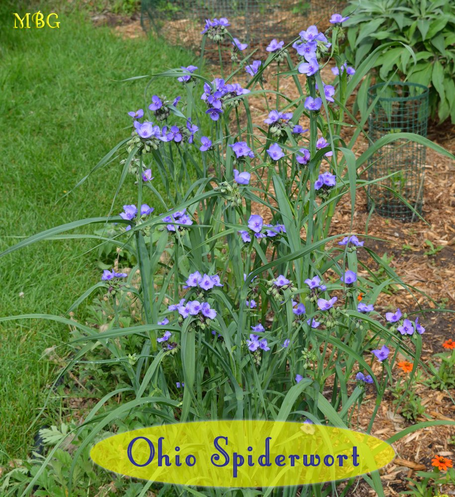 Ohio Spiderwort has a Profusion of Purple Blooms that are often visited by bumble bees. It's a striking native nectar plant for the pollinator garden...