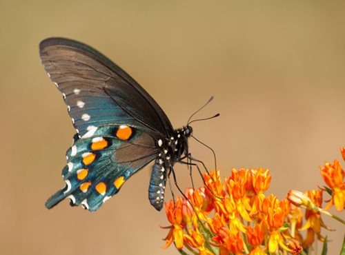 Pipevine Swallowtail Visits Butterfly Weed (Asclepias tuberosa)