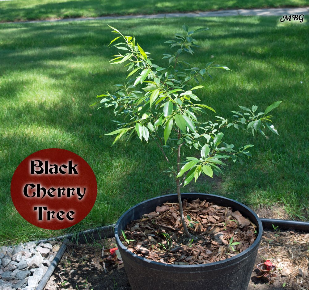 Prunus serotina is a host tree for tiger swallowtails, red-spotted purples, and the amazing cecropia moth. Don't have room for an 80 foot host plant? Try potting your tree instead...
