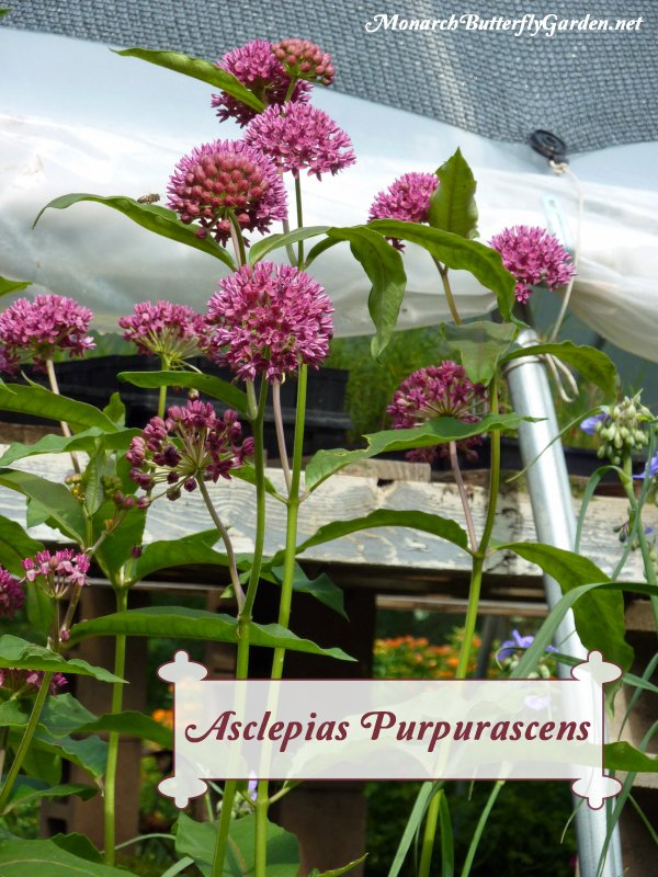 Asclepias purpurascens is purple milkweed for monarch caterpillars and many precious pollinators