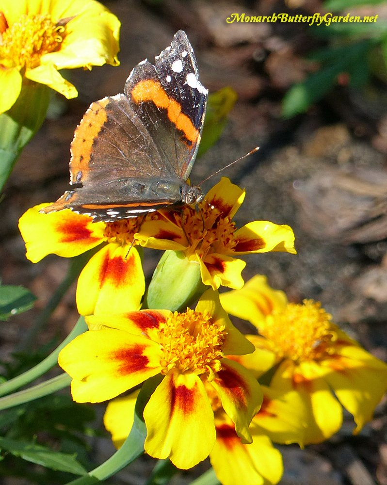 Single flower french marigolds, like 'disco marietta' will attract more butterflies than the traditional double-flowered varieties.