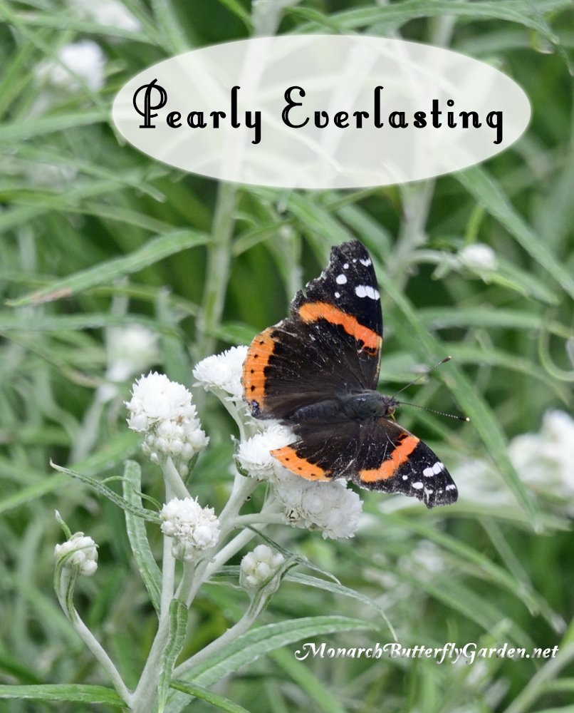 Pearly Everlasting is a host plant for the American Lady Caterpillar. Its white butterfly flowers also provide nectar for 'smallinators' and other butterflies including monarchs and red admirals.
