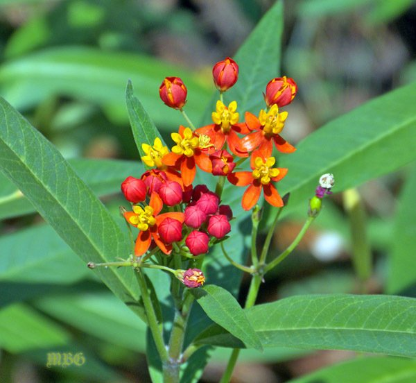 Tropical Milkweed for monarch caterpillars and butterflies