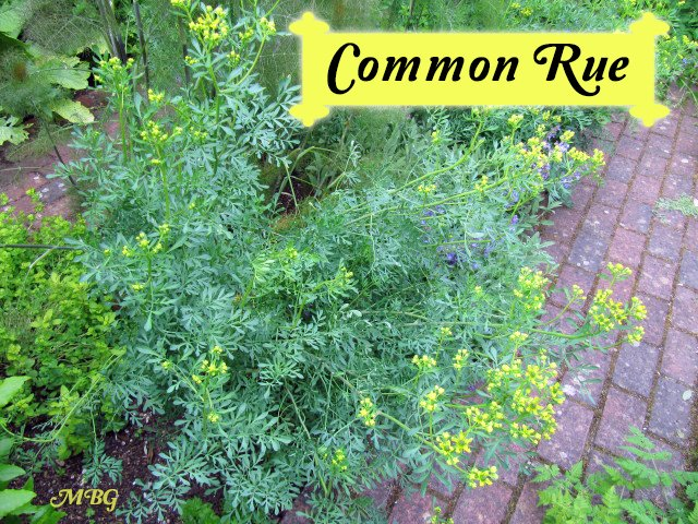 Ruta graveolens (common rue) is a small citrus butterfly plant that hosts both black swallowtail and giant swallowtail caterpillars. Rue is also a great space saver compared to adding a citrus tree to the garden landscape.