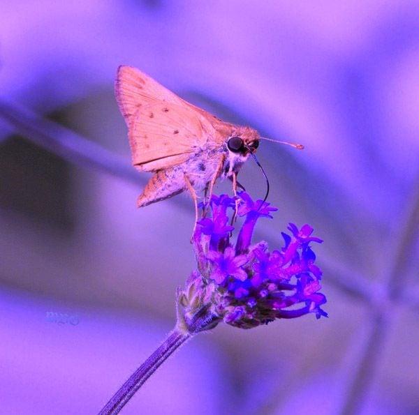 Purple Flower Ideas for a Busy Butterfly Garden- A Skipper Butterfly Sips Sweet Nectar from Verbena Flowers