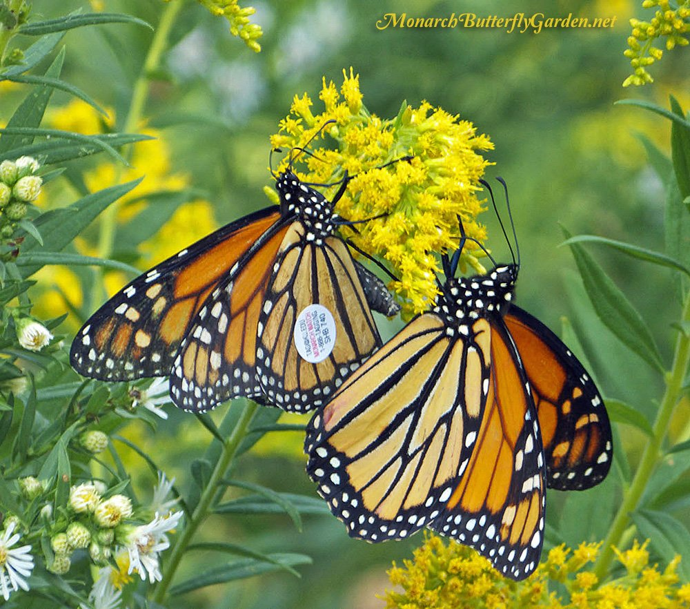 Stiff Goldenrod is a late blooming species that often hosts groups of migrating monarchs across Canada and the northern US. Get more info to see if this is a good butterfly plant to attract monarchs in your region...