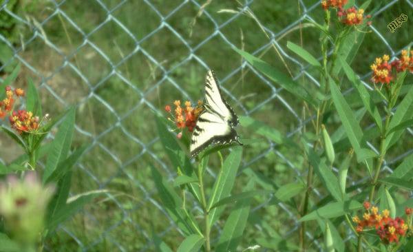 Eastern Tiger Swallowtail Tropical Milkweed