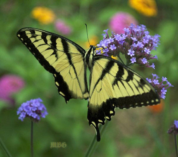 One of the Many, Many Butterflies drawn to Verbena bonariensis each Summer is the Eastern Tiger Swallowtail.