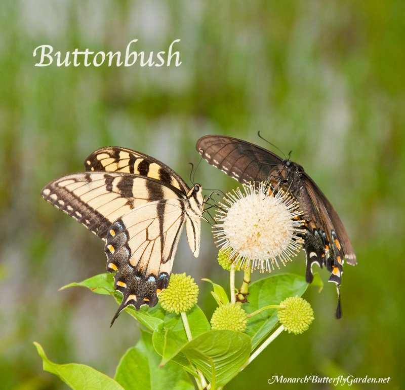 Swallowtails are often drawn to the nectar-rich blooms of Buttonbush butterfly plants.
