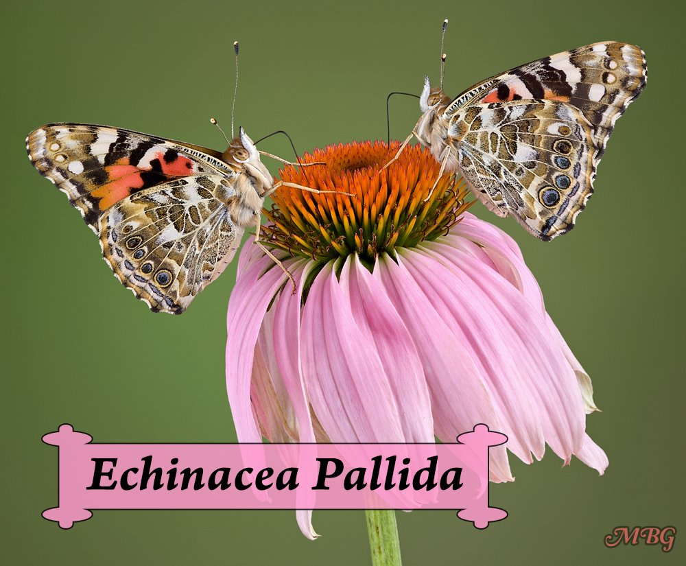 Echinacea pallida is a pale purple coneflower that is more of a pink butterfly flower. This butterfly plant blooms in late spring to early summer and is popular with the (painted) ladies and other precious pollinators.