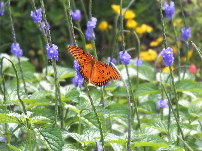 Gulf fritillary on Blue Porterweed