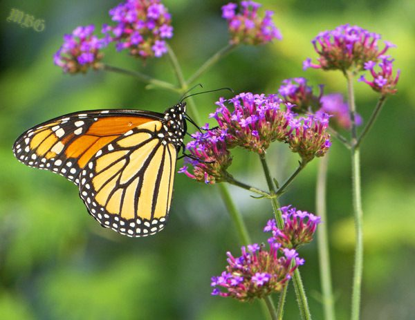 Nectar Flowers that Attract both Monarchs and Hummingbirds? Verbena bonariensis is a long blooming purple-flowered plant no pollinator garden should be without...