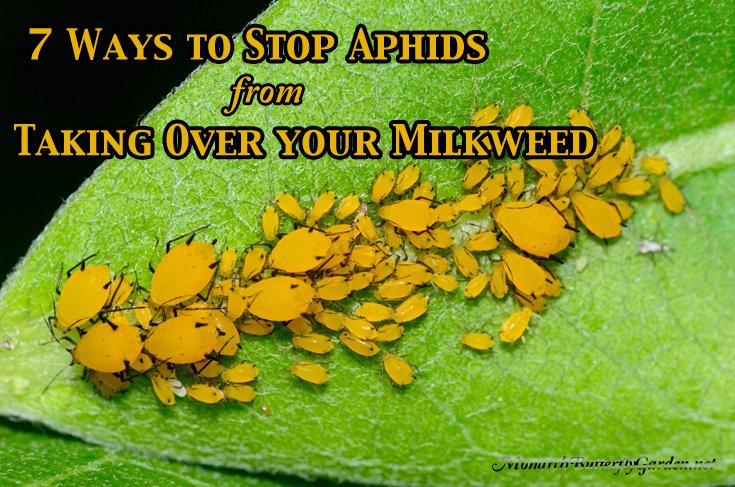 Aphid control is essential if you want to grow healthy milkweed plants for monarch butterflies. Here are 7 ways to control aphids organically, and save more milkweed for monarchs.
