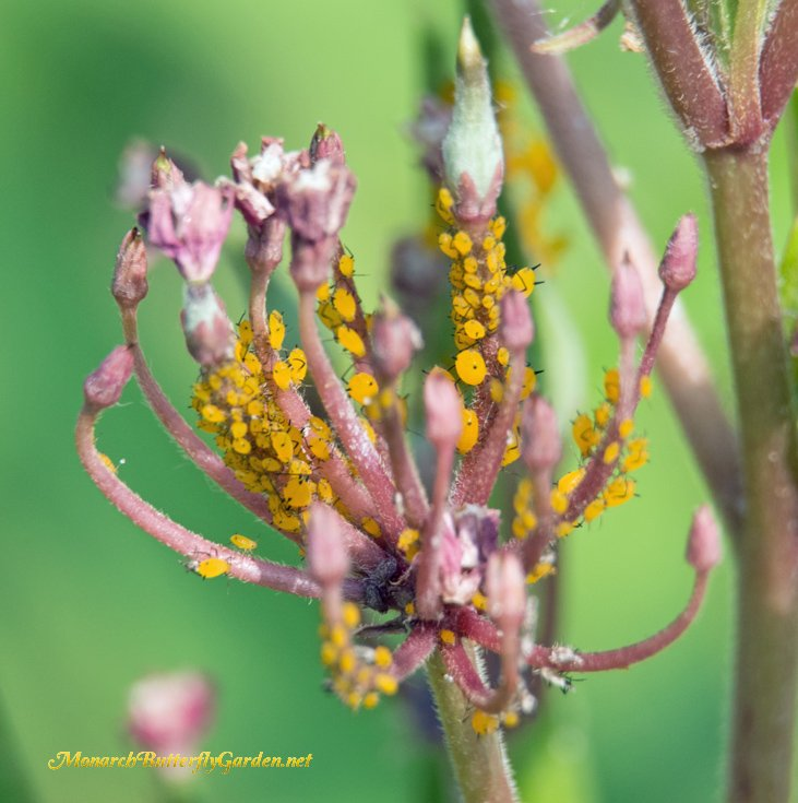 Cut Back Aphid Infestations on milkweed each Fall if you want less aphids next spring.
