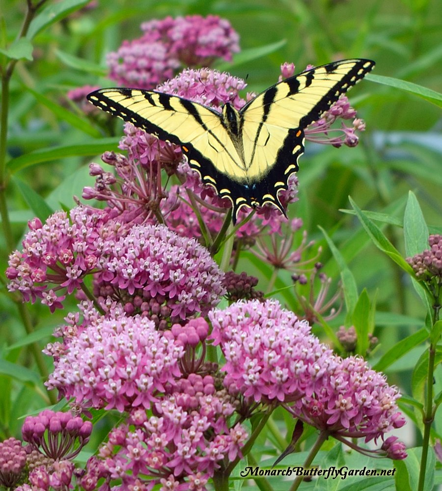 The beautiful blooms of Asclepias incarnata (swamp milkweed) attract many species of butterflies, hummingbirds, and bees to the garden with thier long summer bloom period. More swamp milkweed photos and info...