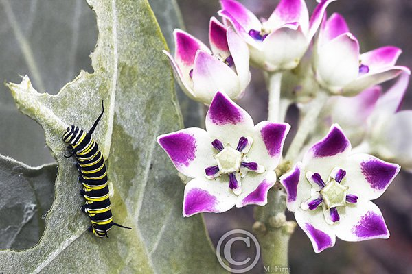 Monarch Caterpillar dines by beautiful Calotropis procera flowers