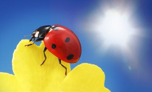 Ladybugs can help control aphids on milkweed plants