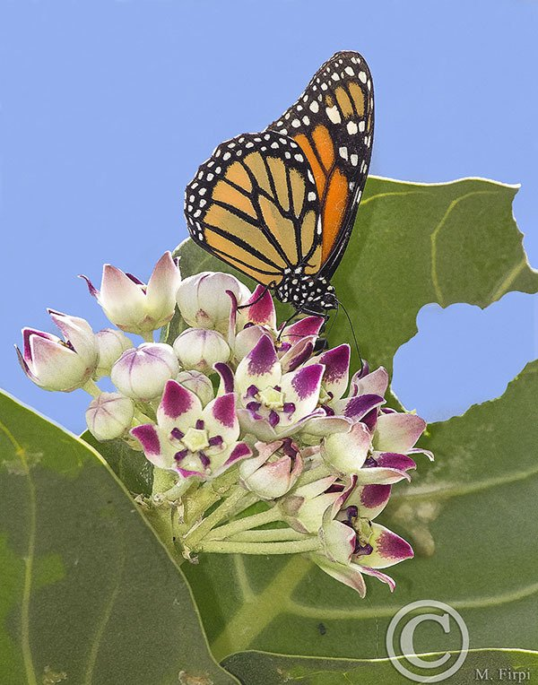 Double Duty Milkweed Plant- Calotropis procera is a milkweed tree that is both a host plant and nectar flower for monarchs, as you can tell from this evidence in this picture...
