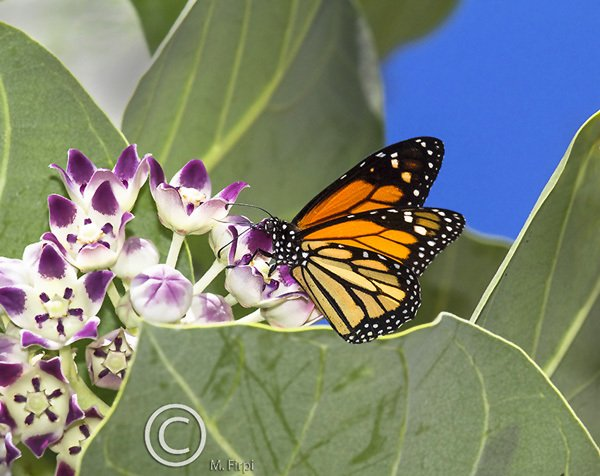Male Monarch Sips nectar from Calotropis procera flowers