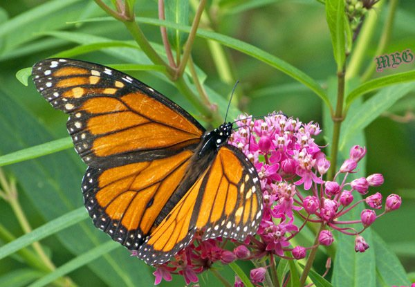 A male monarch spends his golden years on swamp milkweed