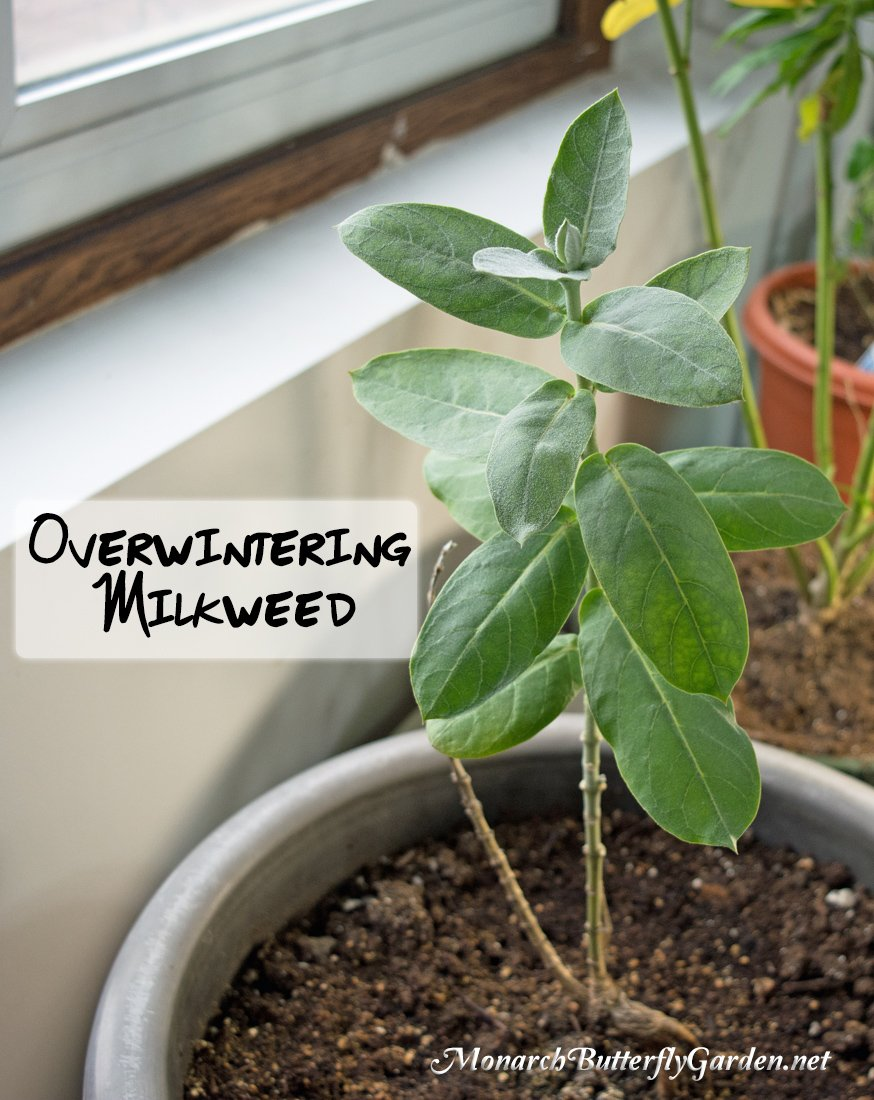 Overwintering Calotropis Procera Indoors- have sufficient drainage from your container and keep the soil for this milkweed variety on the dry side.