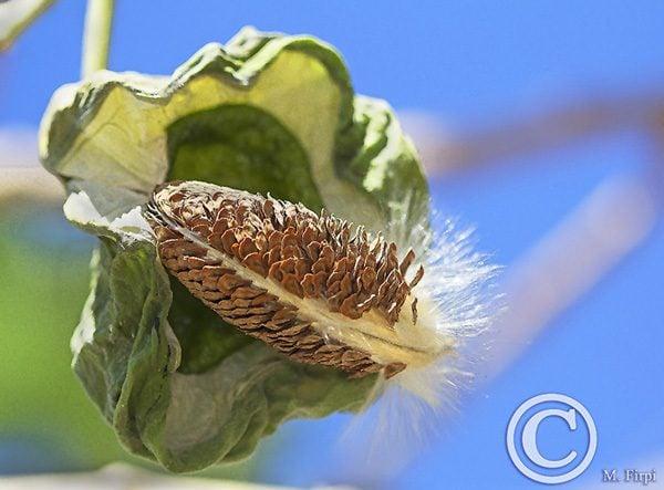 Open Milkweed Pod Calotropis Procera
