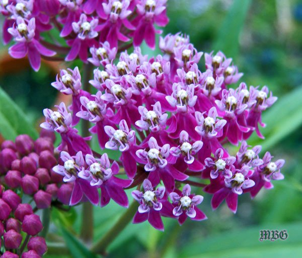 The BEST Native Milkweed for Butterfly Gardens? Swamp milkweed doesn't need to be grown in a swamp, but it does prefer moist soil. It doesn't spread through underground rhizomes so it won't take over your garden. It has a long summer bloom period that attracts many pollinators, and it receives many monarch eggs over the season. Asclepias incarnata is also a fantastic option for your container garden. More info and photos...