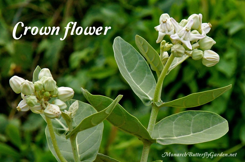 Crown Flower Milkweed comes in both purple and white flowers and solo white blooms