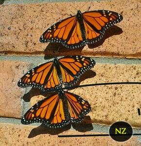 5 Interesting Butterfly Facts- Monarch Butterflies New Zealand