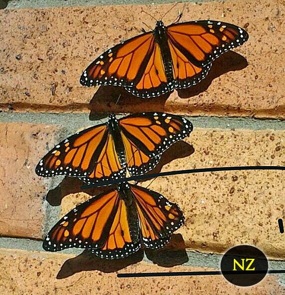5 Interesting Butterfly Facts about Monarch Butterflies New Zealand including what type of milkweeds the caterpillars eat and where do the butterflies overwinter?