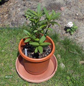 Raise tiny Monarch Caterpillars on Potted Milkweed Plants