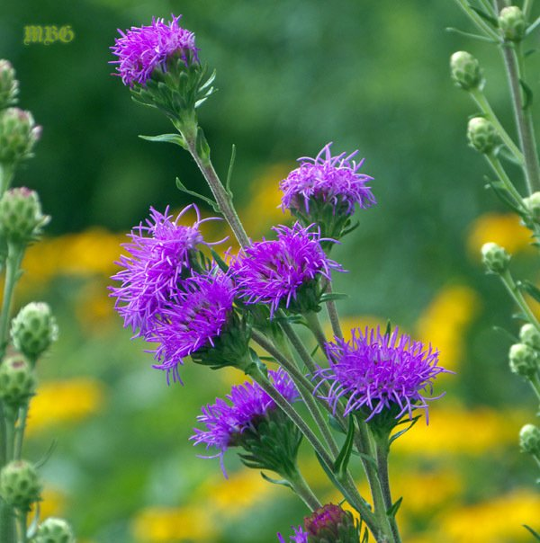 Liatris Ligulistylis Is The Ultimate Monarch Magnet To Start Your Monarch  Butterfly Garden. Monarchs Literally