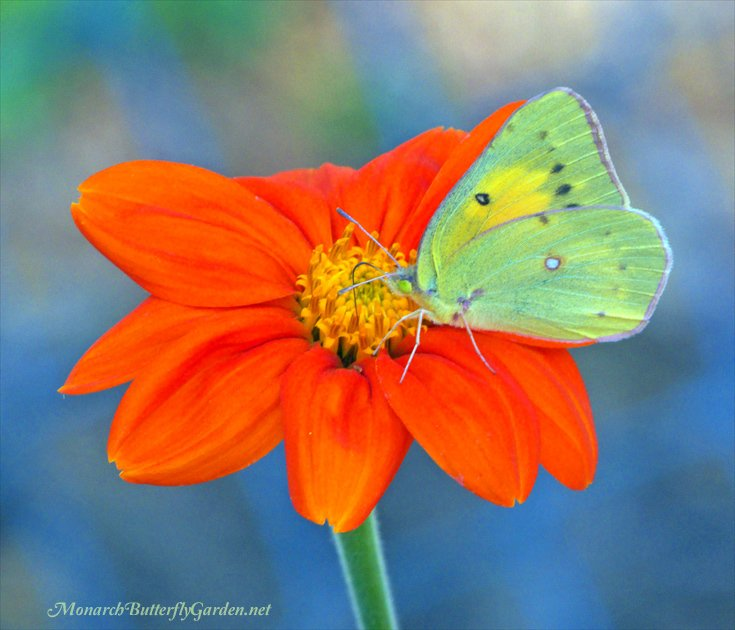 Mexican Sunflowers are a must-plant annual if you want to start a successful butterfly garden that attracts monarchs, sulphur butterflies, and other precious pollinators.