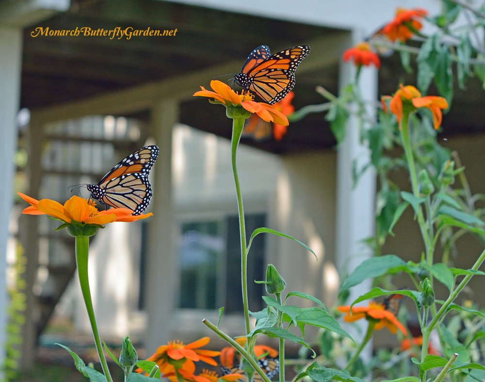 It's not unusual to see multiple monarchs feasting on the nectar-rich blooms of Mexican sunflowers....a must have annual for a successful butterfly garden!