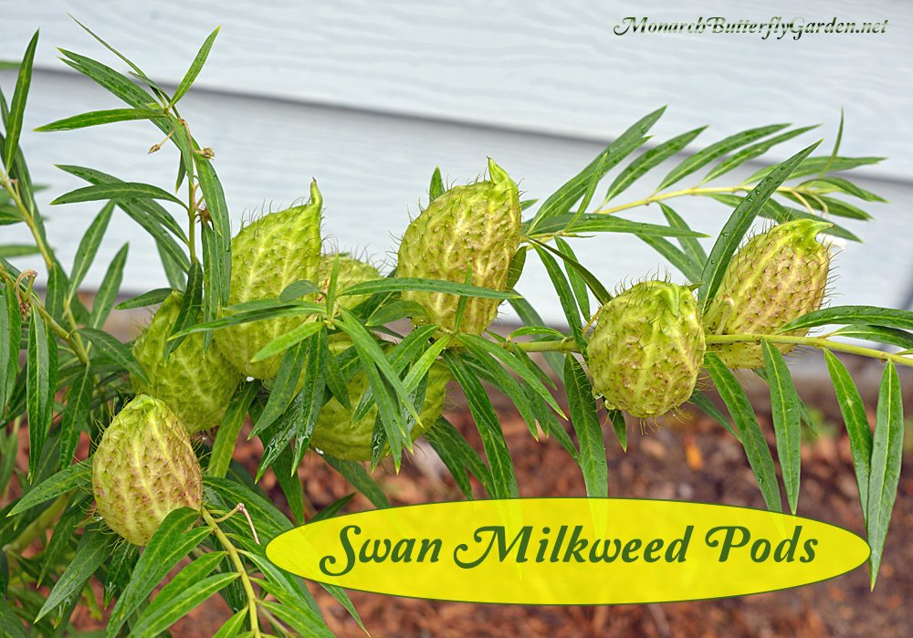 Swan Milkweed is a popular host milkweed plant for both African monarchs and their North American cousin, the Monarch Butterfly. Get more info, photos, and find milkweed seeds...